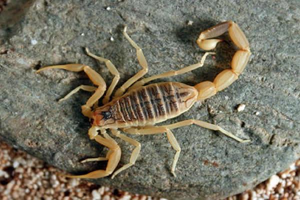 picadas escorpiao aumentam no brasil